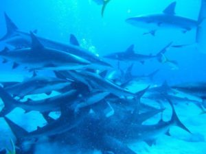 Shark feeding frenzy dive...pretty exhilarating!