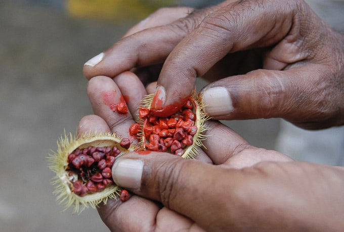 Man holding annatto/achiote seeds in his hand.